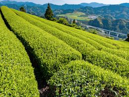 茶畑について